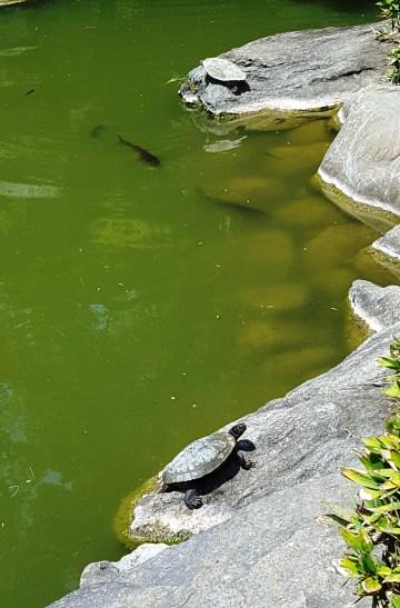 rùa nằm ven bờ đá