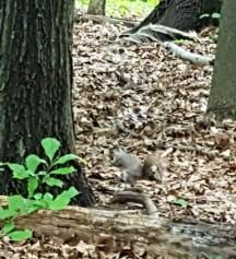 Sóc nhỏ bé lẫn vào trong đống lá khô, nhìn kỹ thấy đôi mắt đen như hạt cườm.