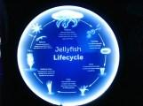 chu kỳ phát triển của sứa