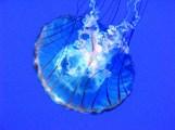 sứa 2