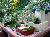 Những cây cúc được biến thành cúc kiểng và trồng trong chậu.