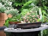 Những chậu cúc bonsai được chưng trong vườn bách thảo