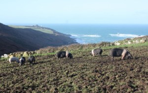 conservation grazing - morvah and pigs