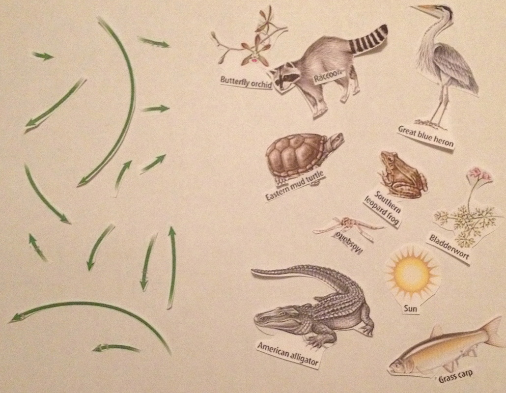 alligator food chain diagram 70 chevelle wiring american related keywords