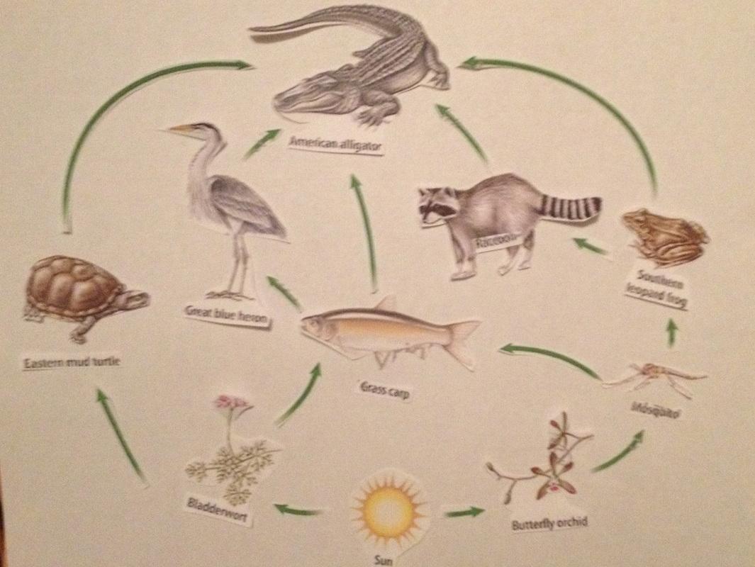 alligator food chain diagram car air horn wiring crocodile