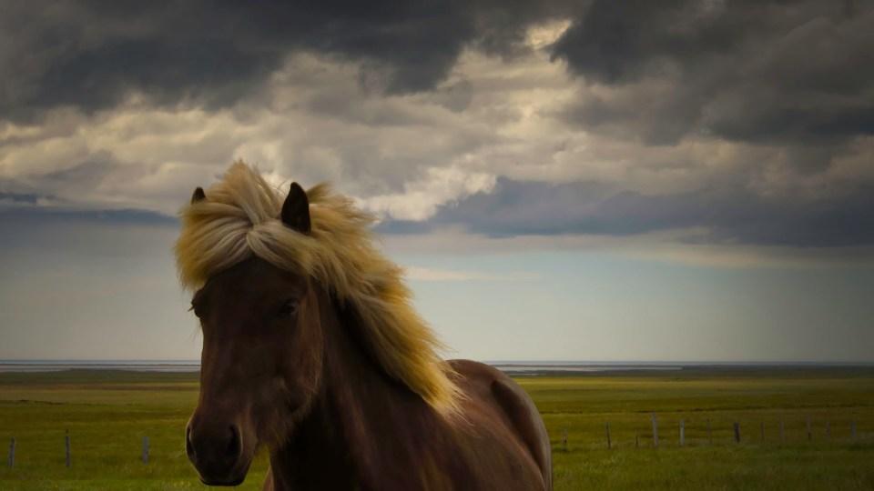 Icelandic horses, Ring Road