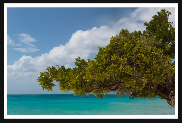 Aruba's-divi-tree