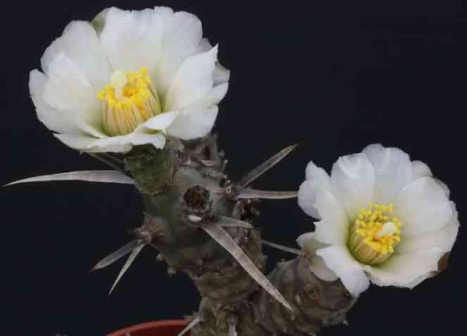 Tephrocactus articulatus en flor