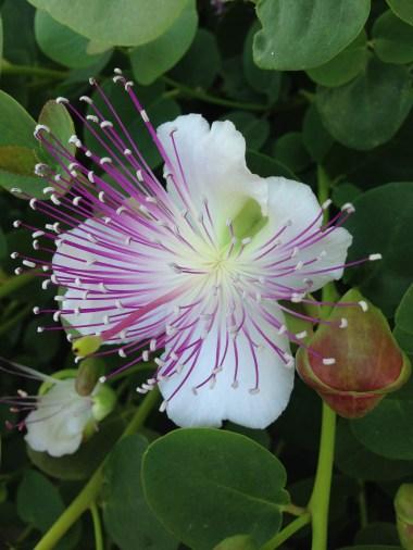 Fondazione Alario - Fiore di Cappero 4