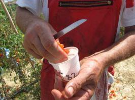 Salvatore Ceccarelli - Miglioramento Genetico Partecipativo Estrazione Seme Pomodoro