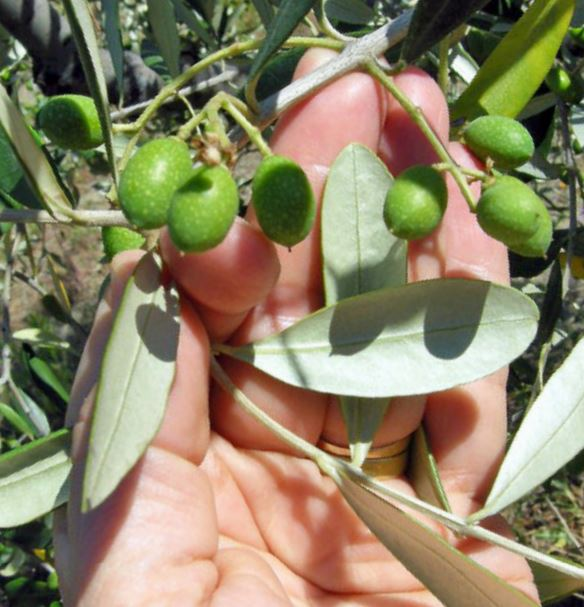 Olive Podere Midolla
