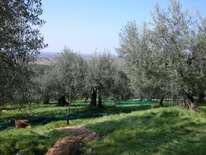 L'oliveto