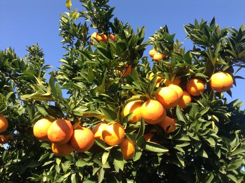 ramo albero arance
