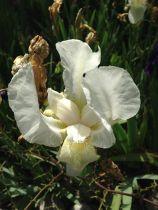 Iris dell'Architetto - Bianco
