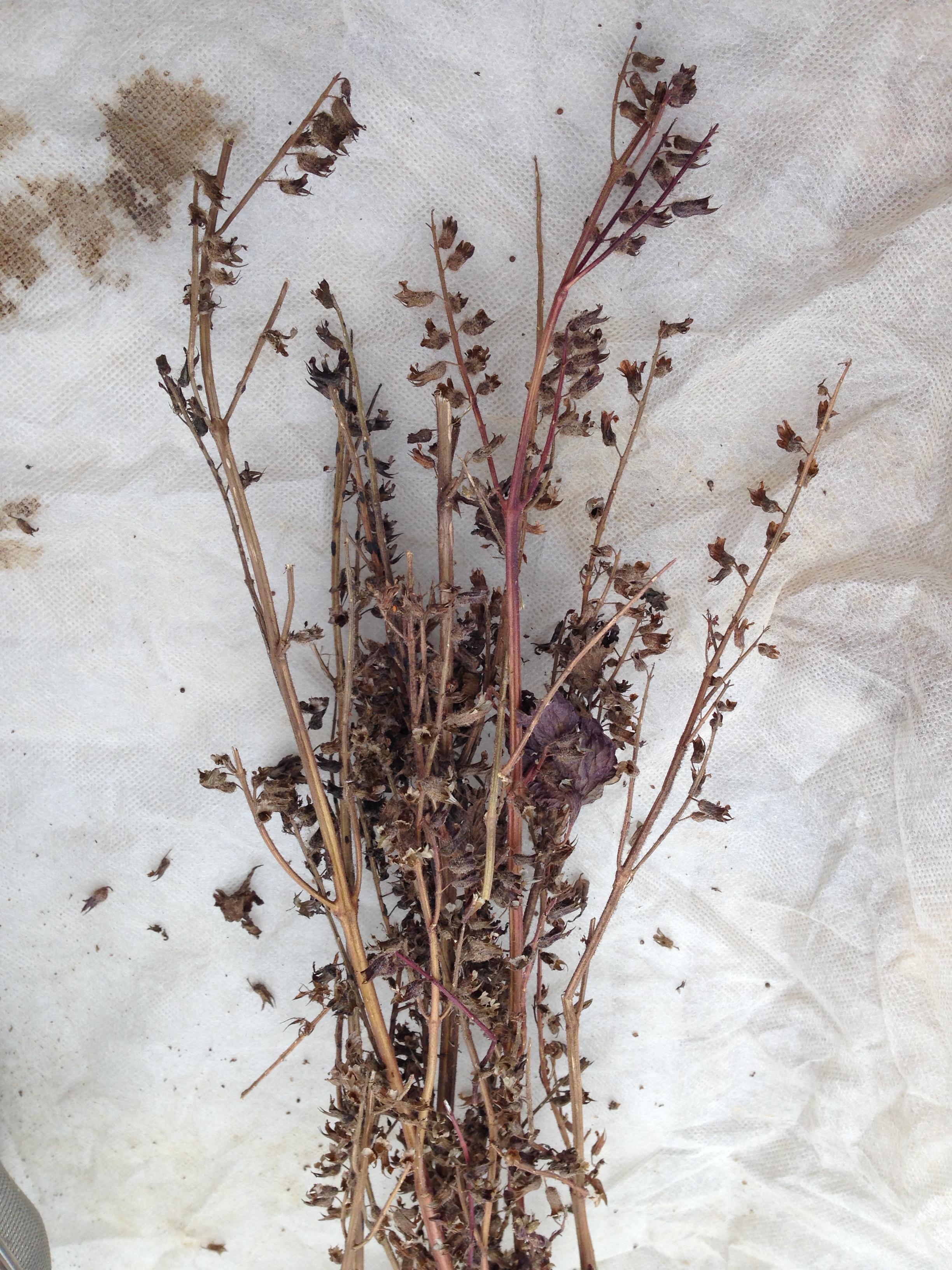 Raetia - Perilla Fruttescens Secca