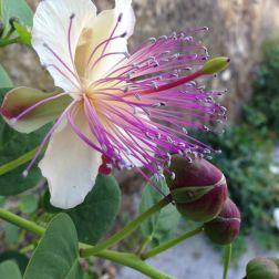 Fondazione Alario - Fiore di Cappero 2