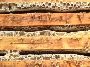 Raccolta Miele - Dettaglio delle Celle Cariche di Miele