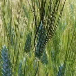 Raetia - Cereali a Giugno (6)