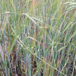 Raetia - Cereali a Giugno