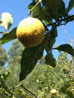 Fondazione Alario - Limone Giallo dello Scorso Inverno