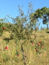 Frutteto Giovanni Caputo - Albero di mele rosse