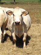 Famiglia Baroni - Vacca di Razza Piemontese