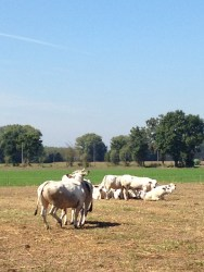 Famiglia Baroni - Vacche che Giocano