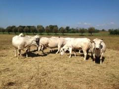 Famiglia Baroni - Vacche di Razza Piemontese