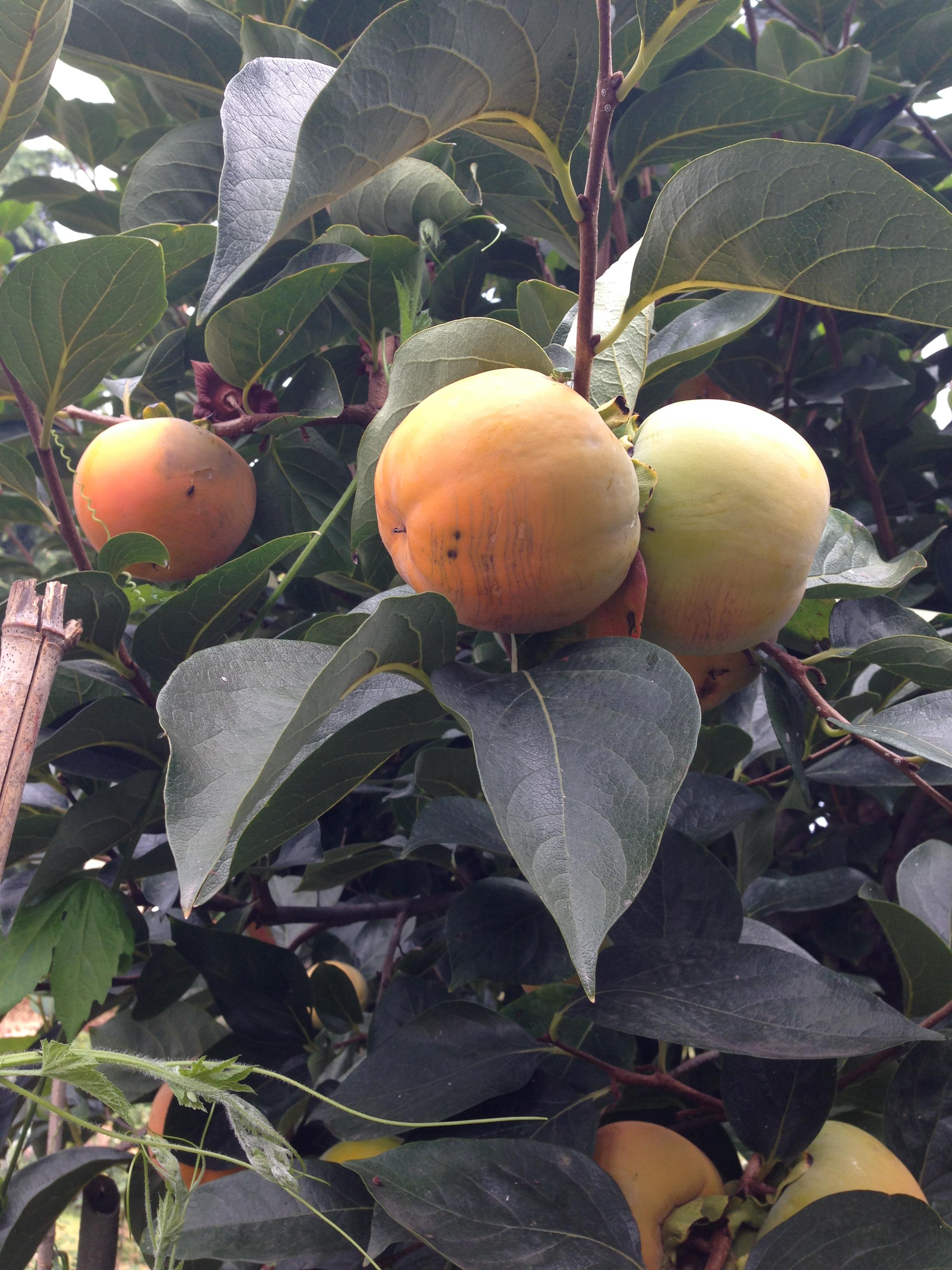 Agricola Cassani - Cachi al Ristorante