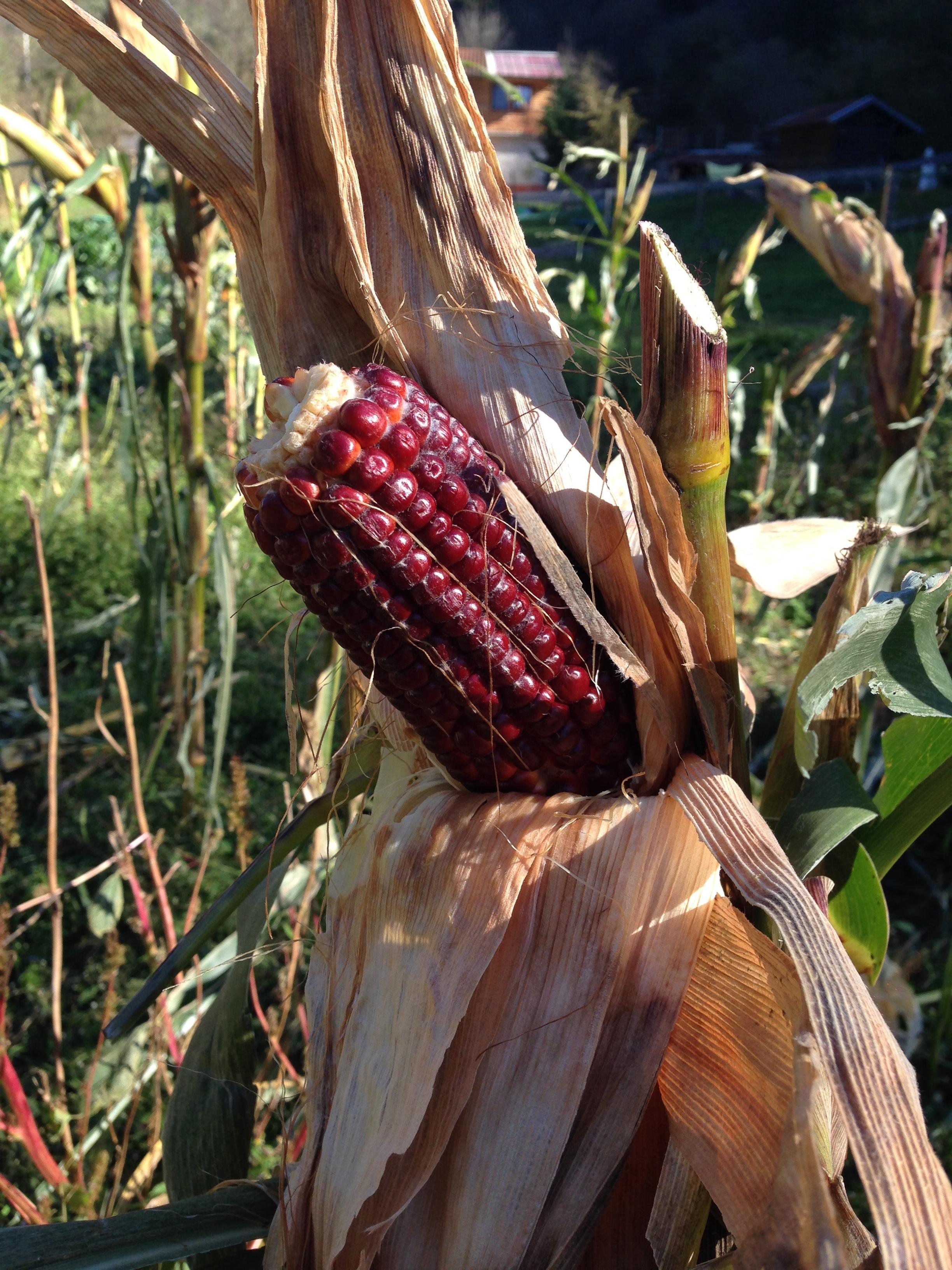Agriturismo Prestello - Mais Rosso Scuro