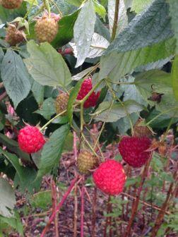 Non Solo Piccoli Frutti - I Lamponi 2