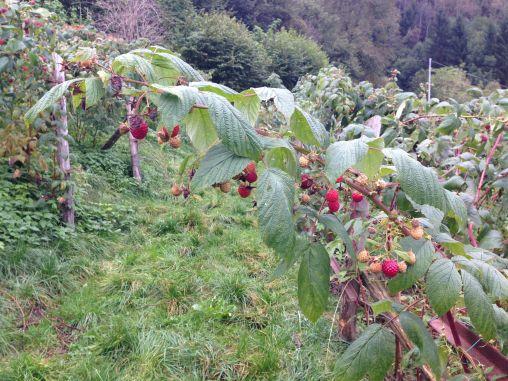 Non Solo Piccoli Frutti - I Lamponi 4