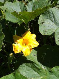 Principe di Fino - Fiore di zucca