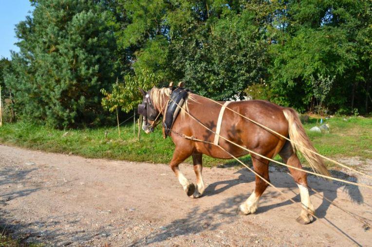Zaffaroni Domenico - Cavallo da Traino