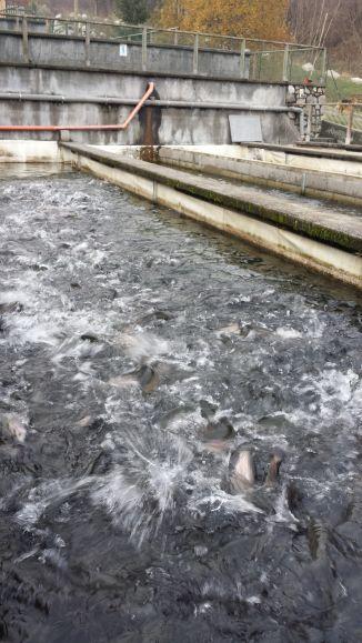 Agroittica San Fiorino - Trote che saltano