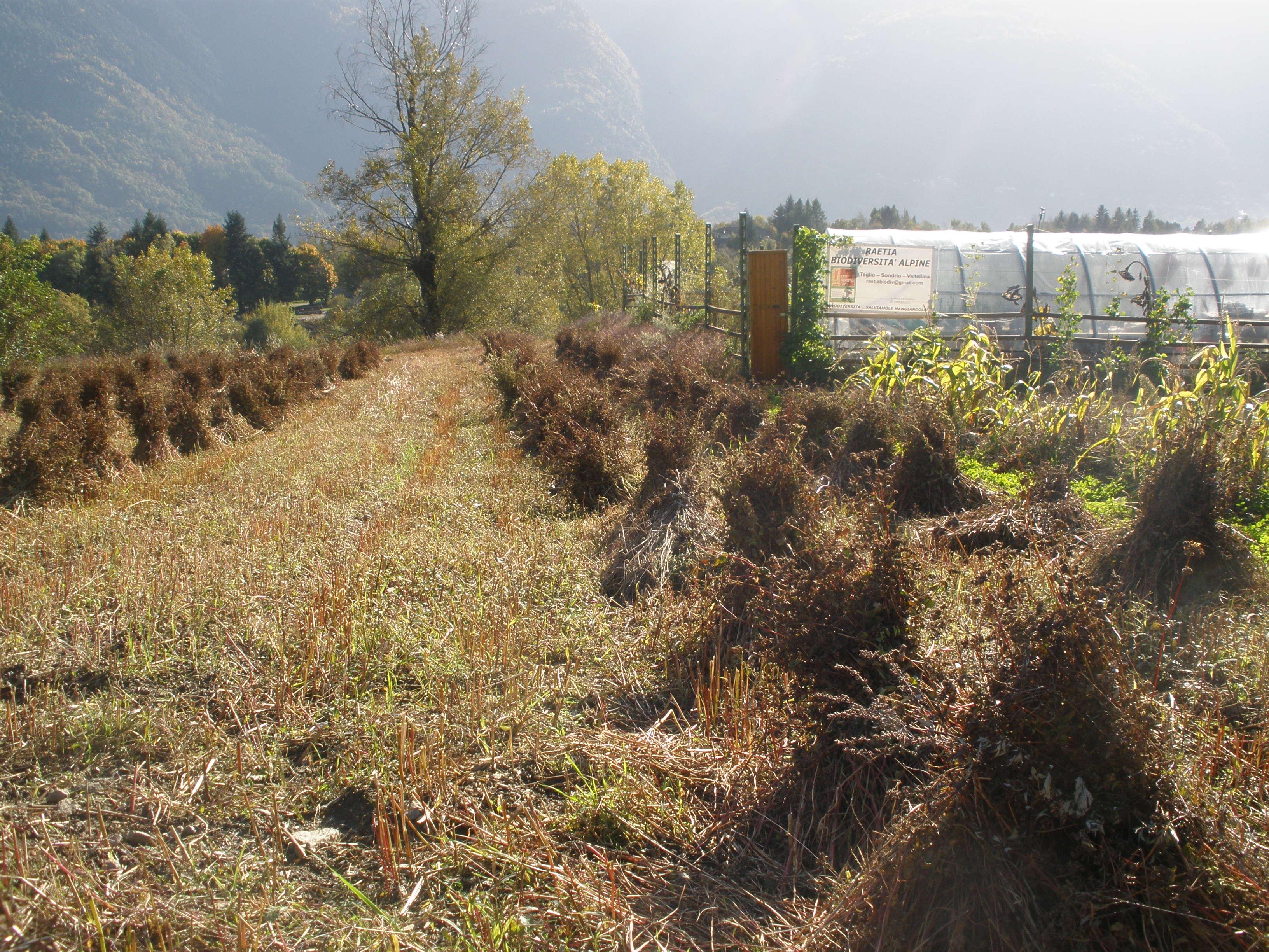 Raetia Biodiversità Alpine - Casele di Grano Saraceno