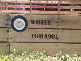 Exponymi - Pomodori White Tomasol