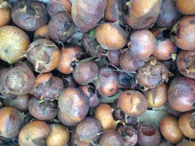Disposizioni per la tutela e la valorizzazione della biodiversità agraria e alimentare - Nespole