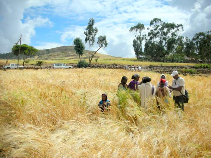 durum-wheat
