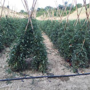 il-cignale-file-pomodori