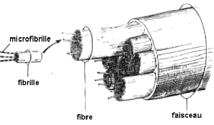 Anatomie : fibre collagène tendon