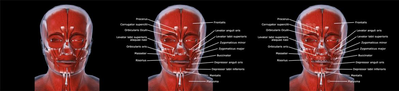 Músculos da Face Anatomia Facial