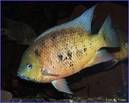 Cincelichthys bocourti 12