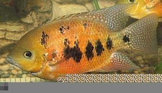 Cincelichthys bocourti 13