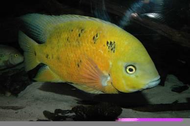 Cincelichthys bocourti 15
