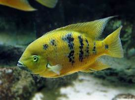 Cincelichthys bocourti 16