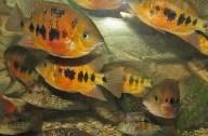 Cincelichthys bocourti 22