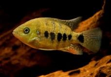 Cincelichthys bocourti 24
