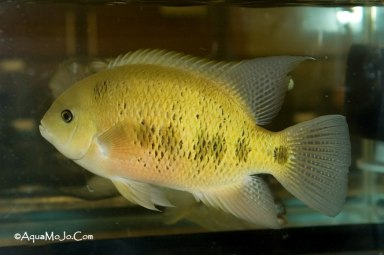 Cincelichthys bocourti 26