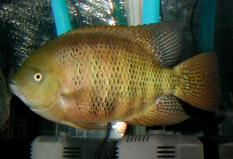 Cincelichthys bocourti 33